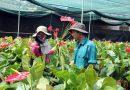 Khởi nghiệp từ tổ hợp tác trồng hoa hồng môn tại Lâm Đồng