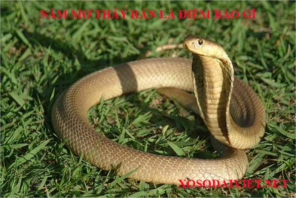 Mơ thấy rắn mang bành liên quan đến con số nào