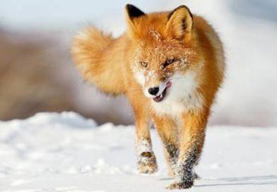 Nằm mơ thấy con cáo đánh con gì? đánh số mấy