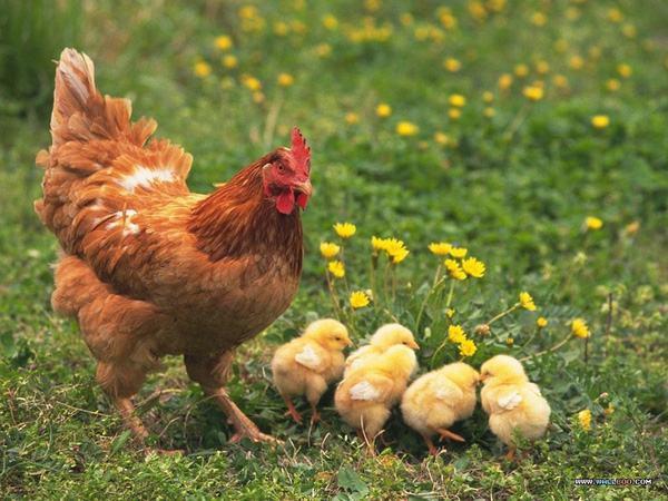 Mơ thấy gà mái có ý nghĩa gì?