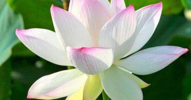 Nằm mơ thấy hoa sen điềm báo gì? Nên đánh lô đề con gì?