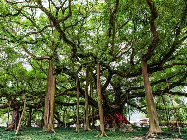 Mơ thấy cây cổ thụ điềm báo gì đánh số gì?